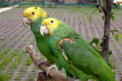 Double_Yellow_Headed_Amazon