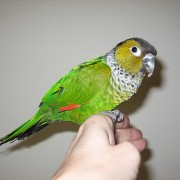 Black_Capped_Conure