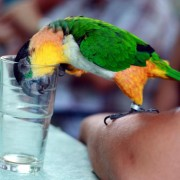 Black_Headed_Caique