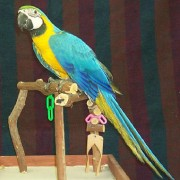 Blue_and_Gold_Macaw